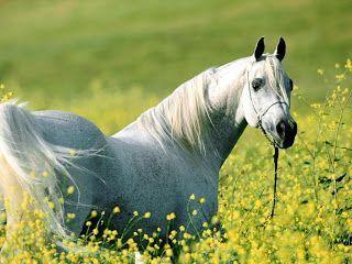Caballo-Arabe-Blanco