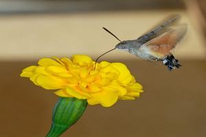 Cómo es la mariposa colibrí