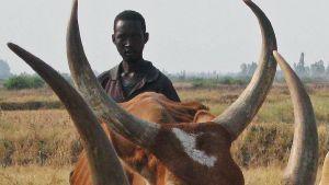 Vacas y poesía