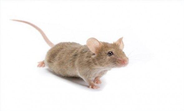 C mo evitar que los ratones se metan en tu coche - Como evitar los ratones ...